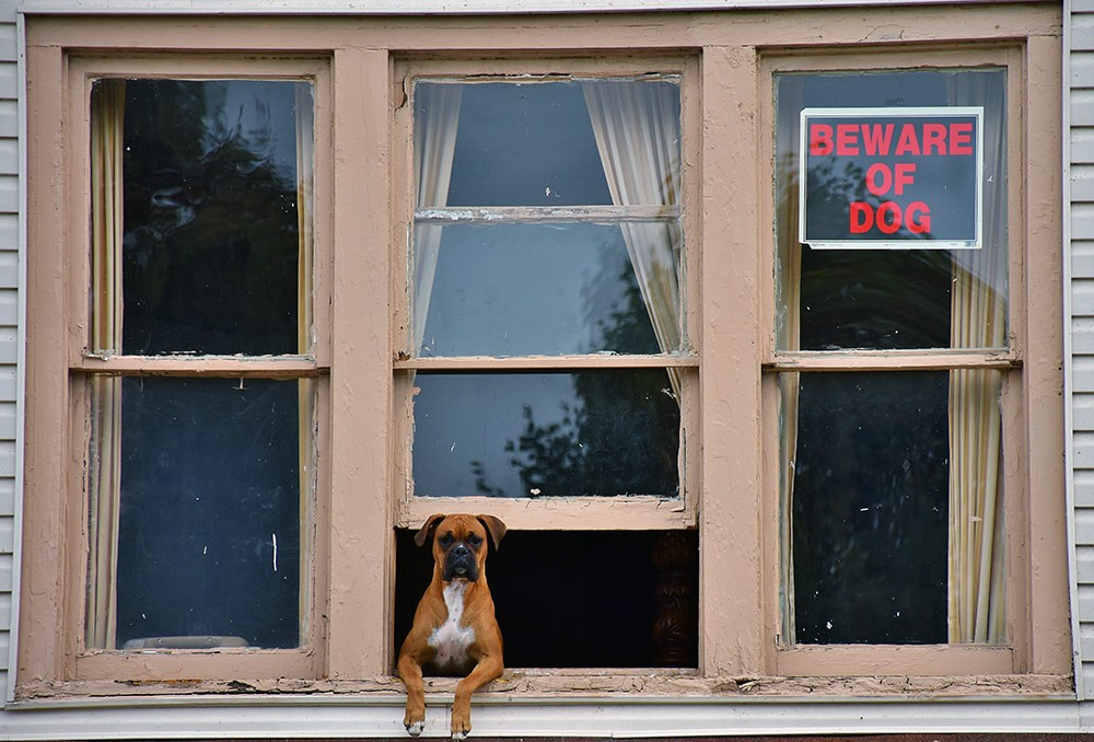 Boxer dog looking out an open window with a